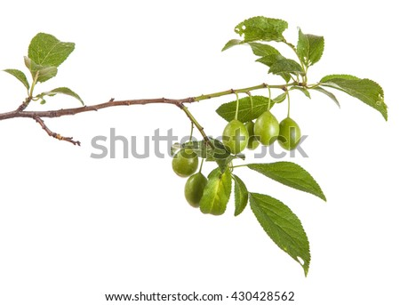 branch of plum tree with green unripe fruits. isolated on white background
