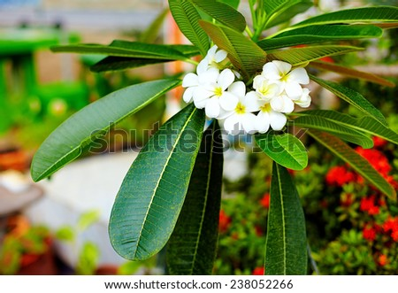 branch of plumeria flower (frangipani) in tropical garden - stock photo
