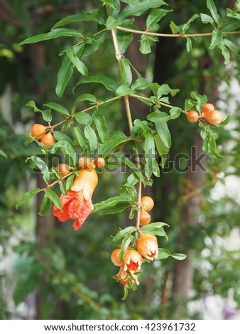 branch of pomegranate flower hanging on tree,