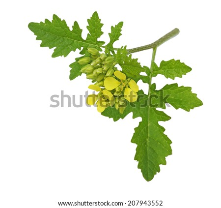 Branch of Rapeseed flowers, Brassica napus isolated on white background - stock photo