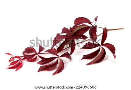 Branch of red autumn grapes leaves (Parthenocissus quinquefolia foliage). Isolated on white background. - stock photo