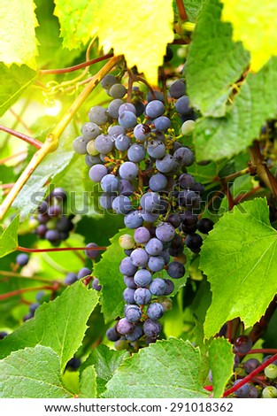 Branch of red grape cluster and sunlight - stock photo