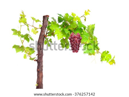 Branch of red grapes vine leaves isolated on white background.