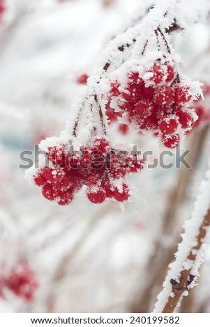 Branch of red ripe ash berries in snow  - stock photo