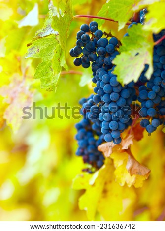 Branch of red wine grapes - stock photo