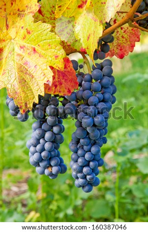 Branch of red wine grapes in autumn