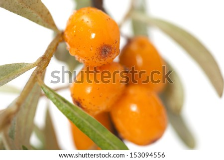 Branch of sea-buckthorn with its typical orange berries.   - stock photo