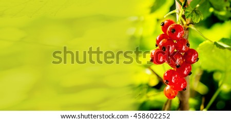 Branch of sweet fresh red currant in the garden. Red currant on the branch. Currant bush. Large crop currant berries; fruits; green leaves, copy space - stock photo