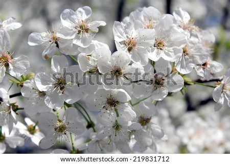branch of the blossoming cherry in the spring - stock photo