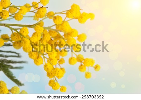 Branch of the blossoming yellow mimosa on a color background - stock photo
