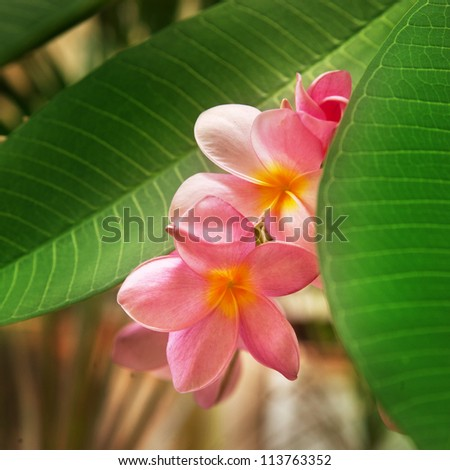 Branch of tropical flowers frangipani (plumeria) - stock photo