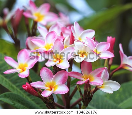 Branch of tropical pink flowers frangipani (plumeria) with water drop