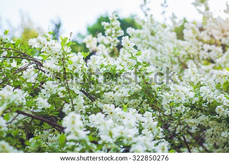 Branch of white acacia flowers on the tree - stock photo