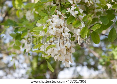 Branch of white acacia flowers (robinia pseudacacia) - stock photo