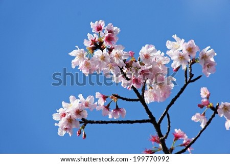 branch of white cherry blossoms blue sky background