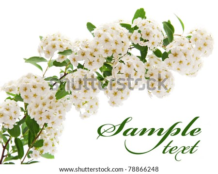 branch of white flowers isolated on white background