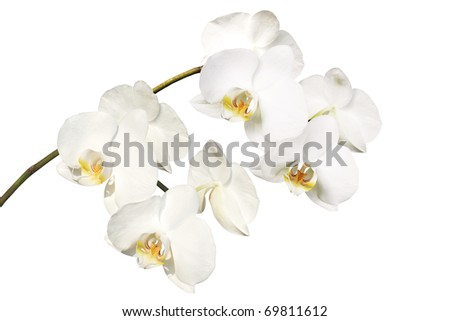 branch of white orchid on the white background