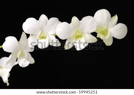 Branch of white orchids on black