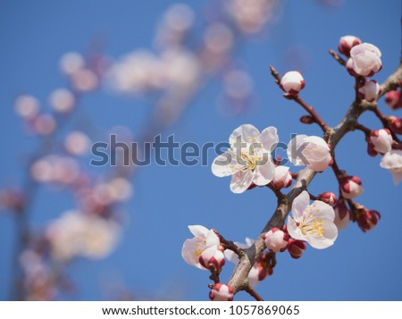 Branch white plum flower blooming spring stock photo royalty free branch of white plum flower blooming in spring garden morning and blue sky horizontal background mightylinksfo