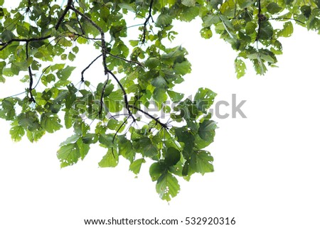 branch on the white background