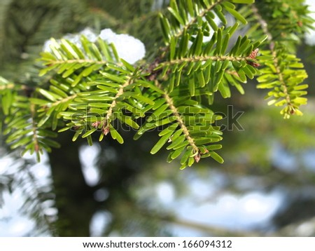 branch tops from a silver fir with snow - stock photo