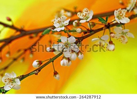 Branch with Apple white flowers and  	flower buds on a yellow and orange bird feather background, close up - stock photo