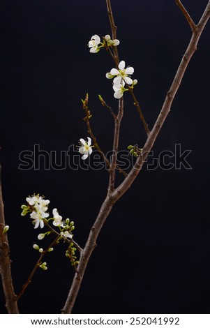Branch with apricot flowers  - stock photo