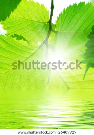 Branch with beautiful green summer leafs in sunlight and water