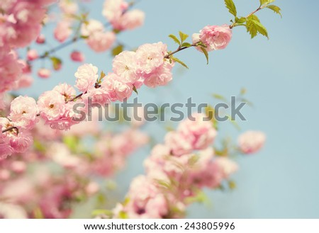 Branch with beautiful pink flowers against the blue sky. Amygdalus triloba. very shallow depth of field. Toned image - stock photo