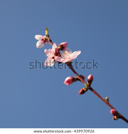 Branch with beautiful pink flowers (Peach) against blue sky.