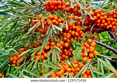 Branch with berries of sea buckthorn and green leaves on a background of grass and sky - stock photo