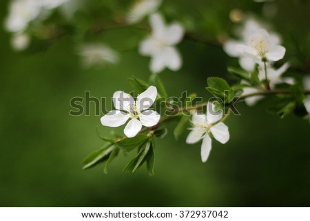 Branch with blossoms of apricot in spring - stock photo