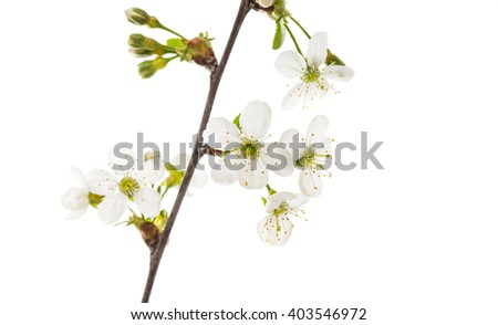 branch with cherry flowers isolated on white background