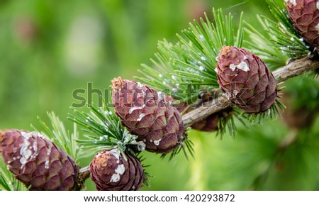 Branch with cones - stock photo