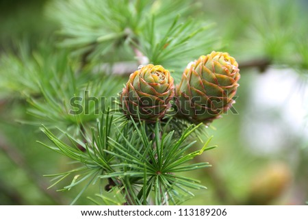 Branch with cones. Larix leptolepis - stock photo