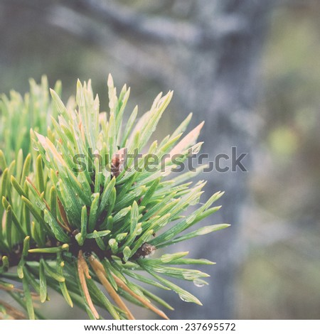 Branch with cones. Larix leptolepis - retro, vintage style look