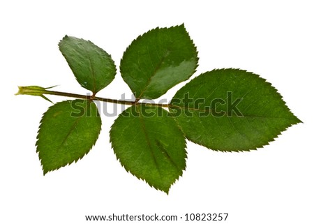 Branch with five leaves on a white background