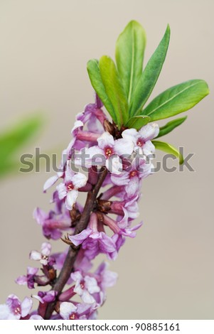 Branch with flowers of Daphne mezereum photographed in nature - stock photo