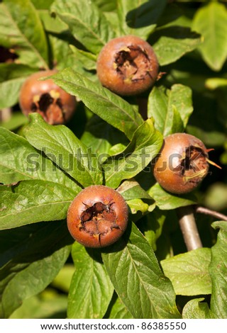 branch with fruit of Mespilus germanica, the common medlar - stock photo