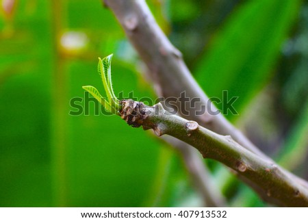 Branch with green leaf, Young leaf on a tree, Small green leaf, fresh green leaf on tree branch, spring tree branch, plumeria tree in rain season, new life start, start of spring, blooming garden - stock photo