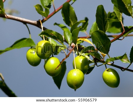 branch with green plums - stock photo