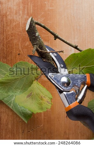 Branch with leaves and pruning shears - pruner. - stock photo