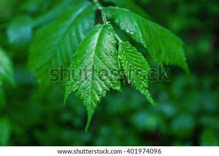 Branch with leaves in drops of rain in the spring green forest. - stock photo