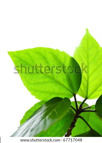 Branch with leaves isolated on a white - stock photo