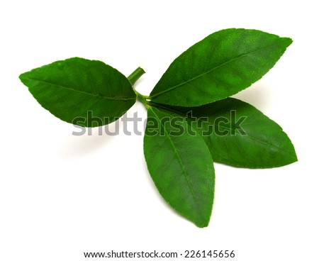 Branch with leaves of lemon isolated on white background - stock photo