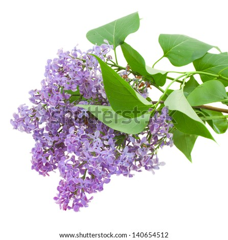 Branch with lilac flowers  isolated on white - stock photo