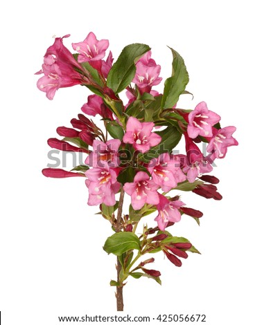 Branch with many pink flowers of crabapple (Malus species) isolated against a white background - stock photo