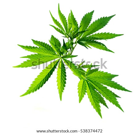 Branch with marijuana leaves isolated on a light gray background. Wild plant.