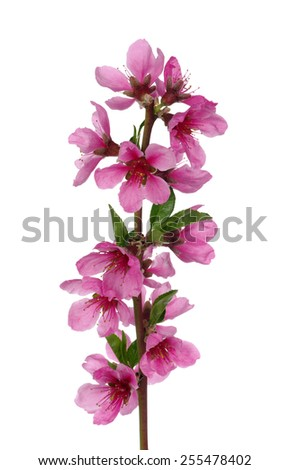 Branch with pink blossoms isolated on white background - stock photo