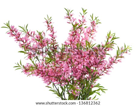 branch with pink flowers on a white background - stock photo